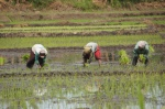 Rückensprengender Reisanbau