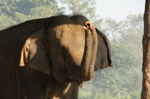 trötender Elefant