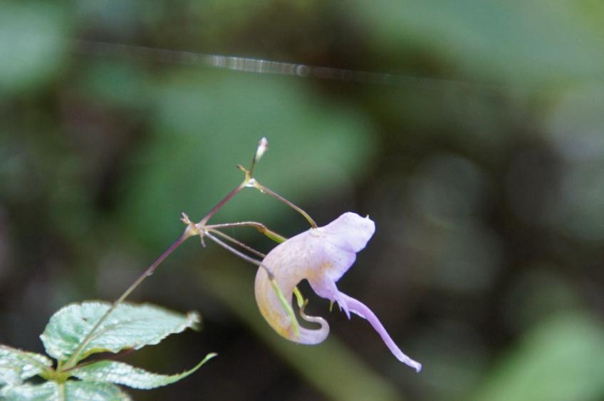 Shrimps-Blume