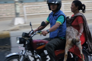 Ziege auf Motorrad