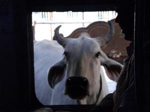 Kuh auf Bahnsteig