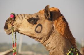 Vo-ku-hi-la-Kamel