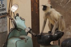 Affe auf Vespa