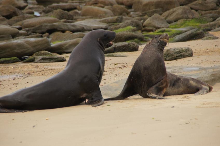 Seelöwen in den Catlins