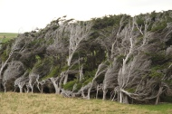 windschiefe Bäume in den Catlins