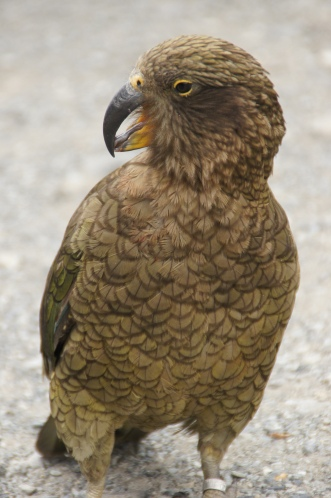 Kea am Arthur's Pass